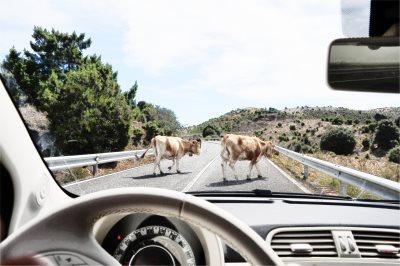 животные на дороге, скорость, видимость, авария